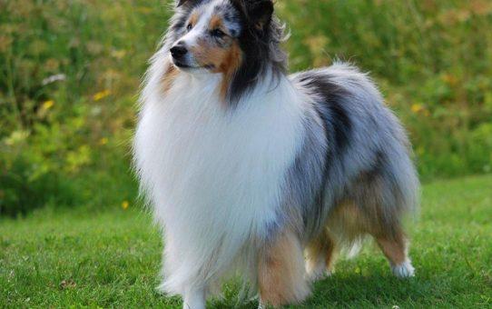 shetland_sheepdog_photo