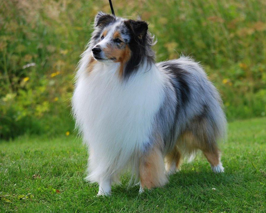 shetland_sheepdog_photo