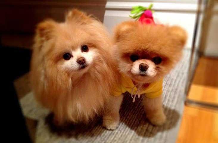 Pomeranian-